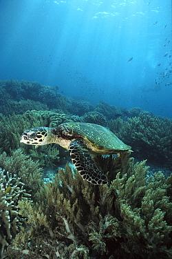 Hawksbill Sea Turtle (Eretmochelys imbricata) underwater, Sipadan Island, Borneo  -  Norbert Wu