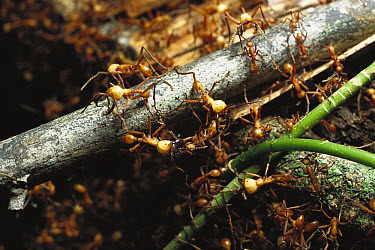 Army Ant (Eciton sp) group use their bodies to build a bridge for other ants to walk across, rainforest, Panama  -  Norbert Wu