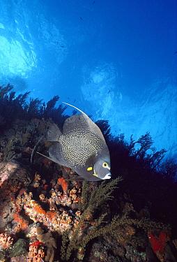 French Angelfish (Pomacanthus paru) along coral wall, Saba, Caribbean  -  Norbert Wu
