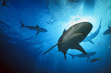 Caribbean Reef Shark (Carcharhinus perezii) underwater, Caribbean, Bahamas  -  Norbert Wu