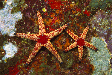 Candy Cane Sea Star (Fromia monilis) pair underwater, Thailand  -  Norbert Wu