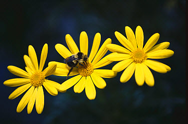 Bumblebee (Bombus sp) collecting pollen from a daisy, California  -  Norbert Wu