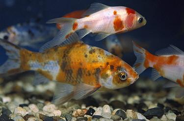 Goldfish (Carassius auratus) school in tank, California  -  Norbert Wu