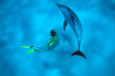Atlantic Spotted Dolphin (Stenella frontalis) swimming with Katherine Gilman, Little Bahama Bank, Caribbean  -  Norbert Wu