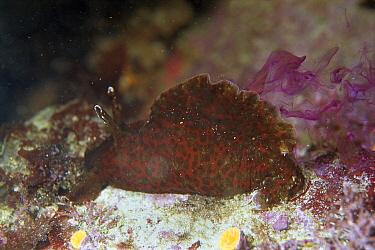 California Sea Hare (Aplysia californica) ejects purple ink when disturbed, California  -  Norbert Wu