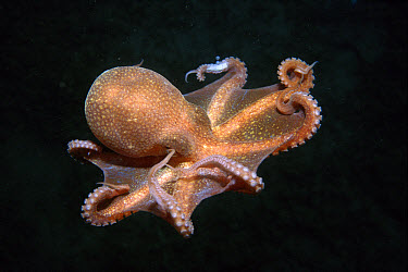 California Bigeye Octopus (Octopus californicus) deep sea species swimming underwater, California  -  Norbert Wu