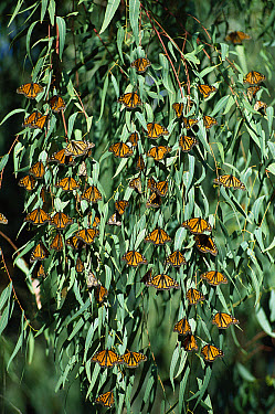 Monarch (Danaus plexippus) butterflies gather on Eucalyptus trees in winter, Santa Cruz and Pacific Grove, California  -  Norbert Wu