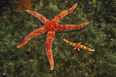 Rainbow Sea Star (Orthasterias koehleri) a large and small one with regenerating arms, Pacific northwest coast of North America  -  Norbert Wu