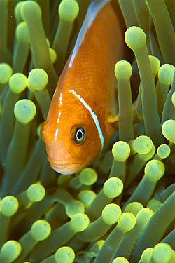 Anemonefish, gain protection and food among stinging tentacles of host Magnificant Sea Anemone (Heteractis magnifica), Palau  -  Norbert Wu
