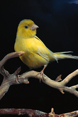 Island Canary (Serinus canaria) adult perching, native to the Canary Islands  -  Norbert Wu
