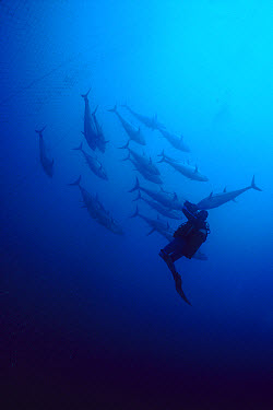 Atlantic Bluefin Tuna (Thunnus thynnus) diver filming a school that has swum into the fishing nets of a 1,200 year-old fishery in Sardinia, Italy  -  Norbert Wu