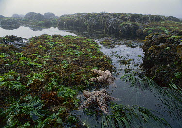 Ochre Sea Star (Pisaster ochraceus) among intertidal algae in tide pools, Point Lobos, Monterey, California  -  Norbert Wu