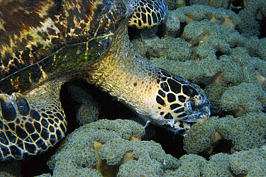 Hawksbill Sea Turtle (Eretmochelys imbricata) eating Organ Pipe Coral (Tubipora musica) with tissue burns from stinging coral around face, Papua New Guinea  -  Norbert Wu