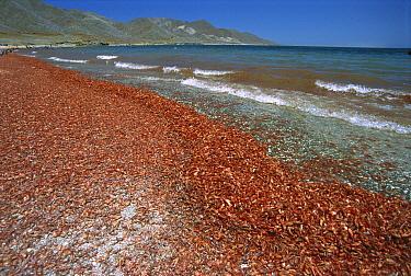 Pelagic Red Crab (Pleuroncodes planipes) group washed ashore by storms, Magdalena Bay, Baja California, Mexico  -  Norbert Wu