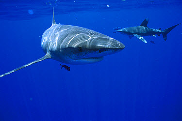 Oceanic White-tip Shark (Carcharhinus longimanus) pair with symbiotic Pilot Fish (Naucrates ductor), Hawaii  -  Norbert Wu