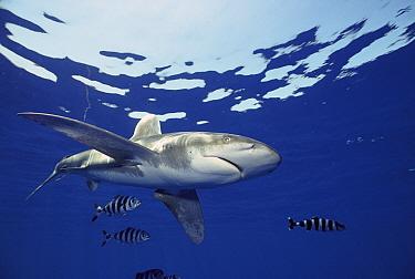 Oceanic White-tip Shark (Carcharhinus longimanus) with symbiotic Pilot Fish (Naucrates ductor), Hawaii  -  Norbert Wu