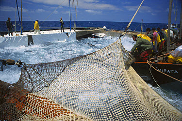 Atlantic Bluefin Tuna (Thunnus thynnus) in net as it is raised by fishermen with the leader or Rais of the Matanzas issuing directions, Mediterranean Sea, Sardinia, Italy  -  Norbert Wu