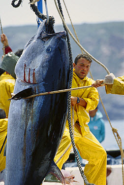Atlantic Bluefin Tuna (Thunnus thynnus) are harvested as they are drawn together in a net, Mediterranean Sea, Sardinia, Italy  -  Norbert Wu