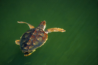 Loggerhead Sea Turtle (Caretta caretta) two to three year-old juvenile swimming at surface, Florida  -  Norbert Wu