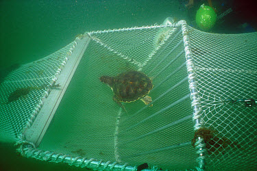 Green Sea Turtle (Chelonia mydas) in Turtle Exclusion Device (Ted) metal grate allows it to escape shrimp trawl, Florida  -  Norbert Wu