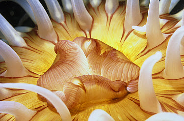 Fish-eating Sea Anemone (Urticina piscivora) close-up detail of mouth and stinging tentacles, California  -  Norbert Wu