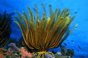 Crinoid or Feather Star, arms capture plankton from the current, Fiji  -  Norbert Wu