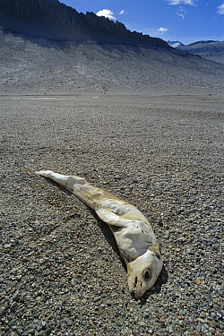 Crabeater Seal (Lobodon carcinophagus) carcass mummified in McMurdo Dry Valleys, Antarctica  -  Norbert Wu