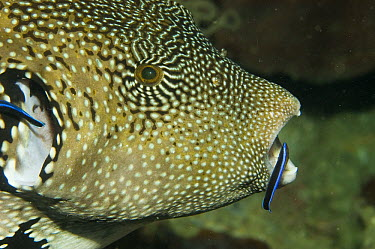 Blue-streaked Cleaner Wrasse (Labroides dimidiatus) cleaning Guineafowl Pufferfish (Arothron meleagris), Raja Ampat Islands, Indonesia  -  Norbert Wu