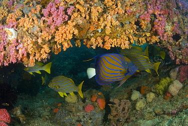 Blue-ringed Angelfish (Pomacanthus annularis) in cave, Raja Ampat Islands, Indonesia  -  Norbert Wu