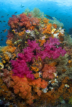 Coral ecosystem with soft coral and reef fish, Raja Ampat Islands, Indonesia  -  Norbert Wu