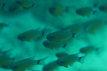 Ring-tailed Cardinalfish (Apogon aureus) in a cave, Raja Ampat Islands, Indonesia  -  Norbert Wu