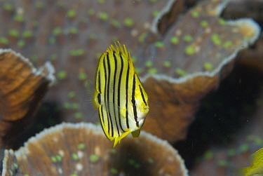 Eight-banded Butterflyfish (Chaetodon octofasciatus), Raja Ampat Islands, Indonesia  -  Norbert Wu