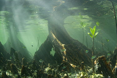 Mangrove (Rhizophoraceae) forest, roots clear water by filtering out sediments, Raja Ampat Islands, Indonesia  -  Norbert Wu