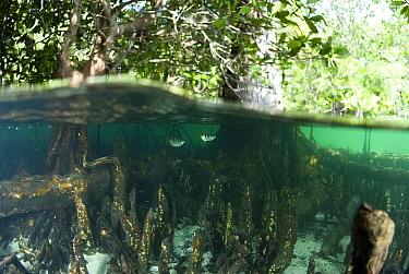 Banded Archerfish (Toxotes jaculator) pair in Mangrove (Rhizophoraceae) forest, Raja Ampat Islands, Indonesia  -  Norbert Wu