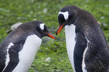 Gentoo Penguin (Pygoscelis papua) pair, Cuverville Island, Antarctica Peninsula, Antarctica  -  Norbert Wu