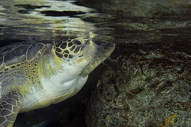 Green Sea Turtle (Chelonia mydas) eating a jellyfish, turltes often mistake plastic bags for jellyfish which can kill them, endangered species, Long Beach Aquarium, California  -  Norbert Wu