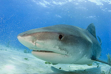 Tiger Shark (Galeocerdo cuvieri) portrait, Bahamas, Caribbean  -  Norbert Wu