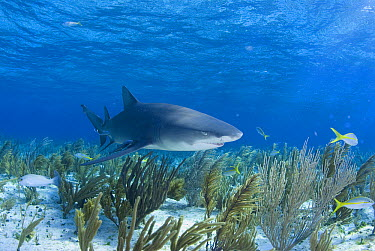 Lemon Shark (Negaprion acutidens) swimming over sea fans, Bahamas, Caribbean  -  Norbert Wu