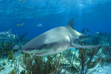 Lemon Shark (Negaprion acutidens), vulnerable species, Bahamas, Caribbean  -  Norbert Wu