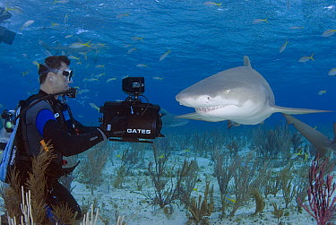 Lemon Shark (Negaprion acutidens) photographed by diver, vulnerable species, Bahamas, Caribbean  -  Norbert Wu