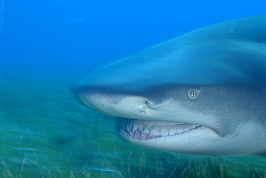 Lemon Shark (Negaprion acutidens) portrait, vulnerable species, Bahamas, Caribbean  -  Norbert Wu