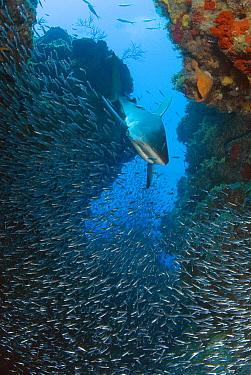 Caribbean Reef Shark (Carcharhinus perezii) swimming through reef and schooling fish, Bahamas, Caribbean  -  Norbert Wu