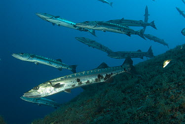Great Barracuda (Sphyraena barracuda) school, Indonesia  -  Norbert Wu