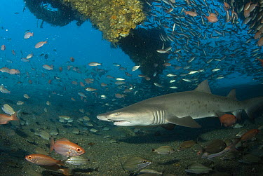 Grey Nurse Shark (Carcharias taurus) swimming through Papoose Wreck off North Carolina  -  Norbert Wu