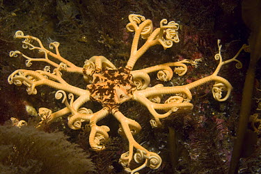 Common Basket Star (Gorgonocephalus eucnemis) with branching arms which are only seen at night in warmer waters, Alaska  -  Norbert Wu