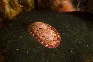 Lined Chiton (Tonicella lineata) uses its radula to scrape food from substrate, Alaska  -  Norbert Wu