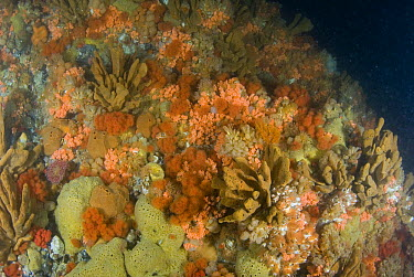 Underwater seamount covered in invertebrate life including sponges, soft corals, ascidians, and barnacles, all of which are filter feeders, Alaska  -  Norbert Wu