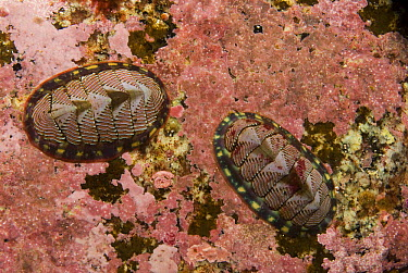 Blue-lined Chiton (Tonicella undocaerulea) pair use their radula to scrape food from substrate, Alaska  -  Norbert Wu