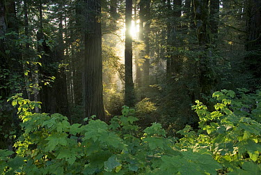 Rays of the setting suns shining through a redwood forest near Brookings, Oregon  -  Norbert Wu