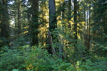 Rays of the setting sun shining through a redwood forest near Brookings, Oregon  -  Norbert Wu